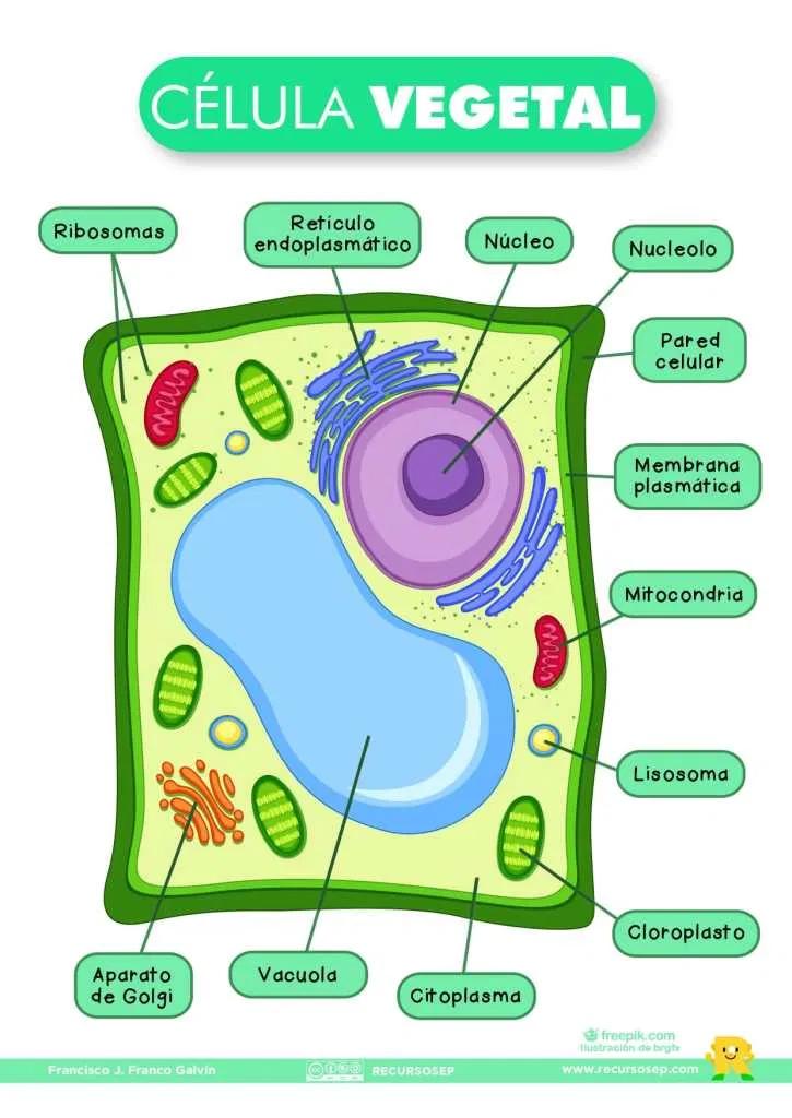 La célula vegetal y sus organelos