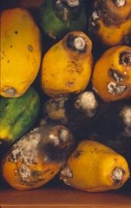 Erwinia sp. en papaya